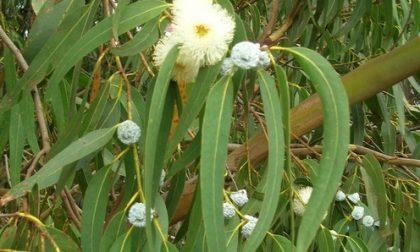 A Camporosso aperte le domande per la raccolta dell'eucalipto comunale