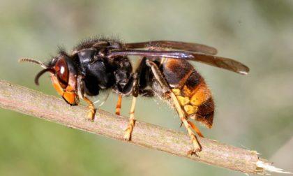 Allarme vespa velutina a Vallecrosia: scoperti 40 nidi