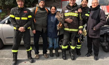 Poiana incastrata in un'antenna tv recuperata dai vigili del fuoco a Riva Ligure