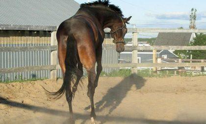 Cavallo selvatico scalcia contro 12enne che viene ricoverata al Gaslini