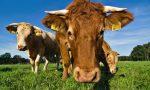 Un mandria di 300 bovini selvatici minaccia il Dianese