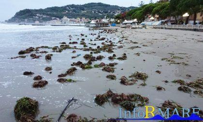 La mareggiata ha depositato centinaia di fiori di posidonia