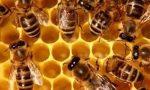 """La finta primavera sveglia in anticipo le api liguri: """"situazione preoccupante"""""""