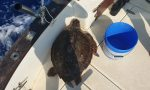 La tartaruga marina si è ammalata di broncopolmonite