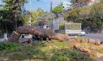Rischia di crollare sulla strada, abbattuto un pino a Ospedaletti