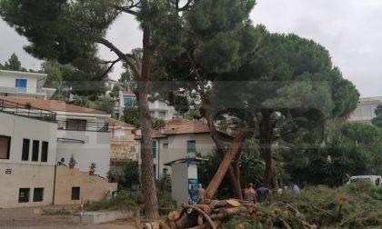 Tagliati altri due pini pericolosi in centro a Ospedaletti