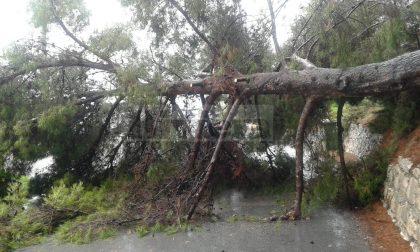 Crolla un albero a Ventimiglia, sfiorata la tragedia