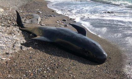 Globicefalo trovato morto sulla spiaggia di Imperia