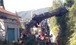 Tragedia sfiorata a Ospedaletti: caduto un pino in Via delle Palme