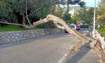 Bordighera: crolla un pino sulla strada per il porto