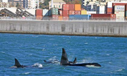"""Cucciolo di orca morto, Airoldi dopo le polemiche social: """"In questi casi si è impotenti non impreparati"""""""