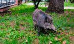 E' allarme cinghiali a Camporosso: rincorso un ragazzo a spasso col cane