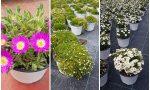 Con La Piantina Solidale il sostegno di Arimondo a floricoltori ed enti di assistenza