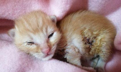Ruben il gattino ferito col tagliaerba abbandonato dalla mamma, che ora rischia di morire