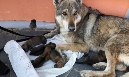 Lupo cecoslovacco dà alla luce 6 cuccioli per strada