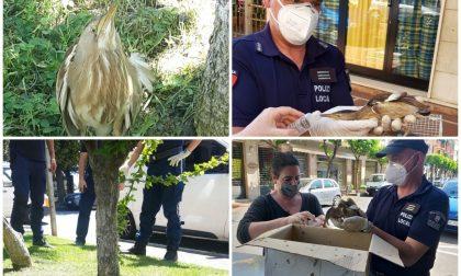 Diano marina: polizia locale salva un tarabusino in difficoltà
