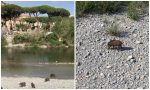 Cuccioli di cinghiale a passeggio sul lungo Roya di Ventimiglia. Video
