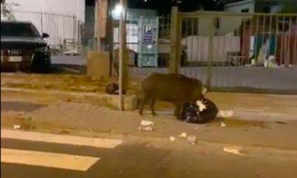 Cinghiale sorpreso a banchettare per strada a Camporosso. Video