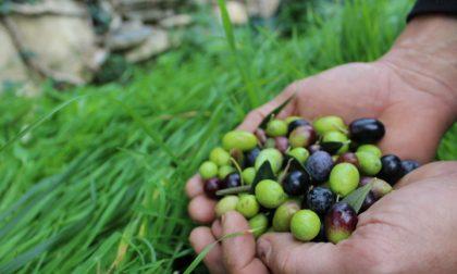 Decolla il Patto di Filiera dell'Olio DOP Riviera Ligure per la campagna 2020/2021