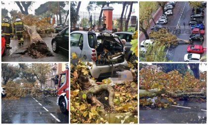 Crolla platano a Ventimiglia: coinvolte 3 auto in sosta, distrutta una Smart. Foto