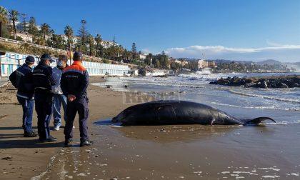 Uno zifio di 5 metri spiaggiato sull'Imperatrice di Sanremo. Foto e Video