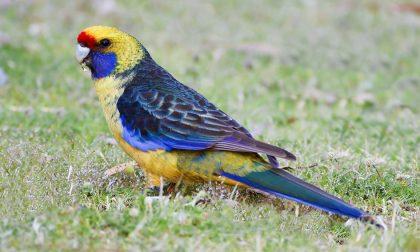 Trovato un pappagallo a Imperia: chi l'ha perso? Pubblicato un avviso sull'Albo Pretorio