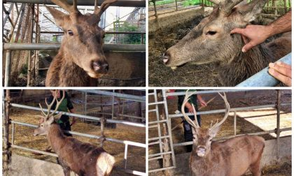 Comune adotta il cervo dell'agriturismo che ha chiuso e lo salva dal trasferimento