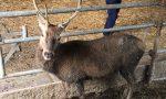 Il cervo adottato dal Comune si chiamerà Elafio