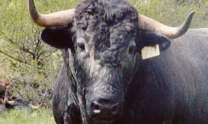 Paura per un toro sulla strada: fermato da alcuni volontari e dai carabinieri
