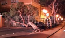 Crolla un pino in via Nino Bixio paura a Sanremo, tre auto danneggiate