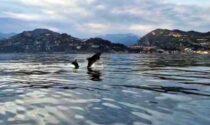 Branco di delfini improvvisa uno show al largo di Ventimiglia