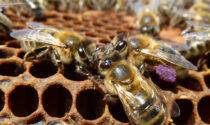 L'ape nera del Ponente ligure è un nuovo Presidio Slow Food