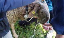 Una falconiera a scuola: nuova iniziativa di educazione ambientale a Cervo
