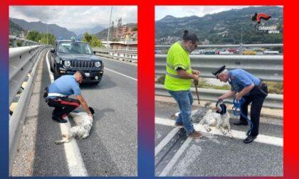 Cane vaga sul cavalcavia. Recuperato dai Carabinieri