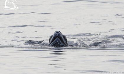 Avvistato un raro esemplare di tartaruga liuto al largo della costa di Ponente