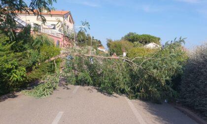 Albero si abbatte sulla ciclabile a Sanremo
