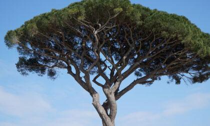Destino segnato per otto pini in via Nino Bixio